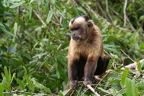 500px large headed capuchin (sapajus macrocephalus) 2
