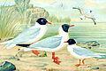 Larus melanocephalus, L. ridibundus, L. minutus.jpg