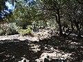 Las z duzym udziałem Quercus coccifera 2.jpg