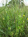 Lathyrus aphaca sl13.jpg