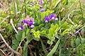 Lathyrus japonicus 01.jpg