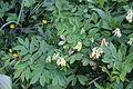 Lathyrus laevigatus (Gelb-Platterbse) IMG 0396.jpg