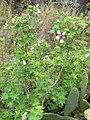 Lavatera acerifolia.jpg