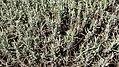 Lavender twigs.jpg
