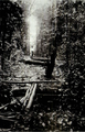Lawa Railway in Suriname - Felling of trees before building the track 1907.png