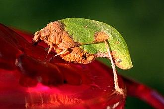 Leaf-mimic katydid - Image: Leaf mimic katydid (Pycnopalpa bicordata)
