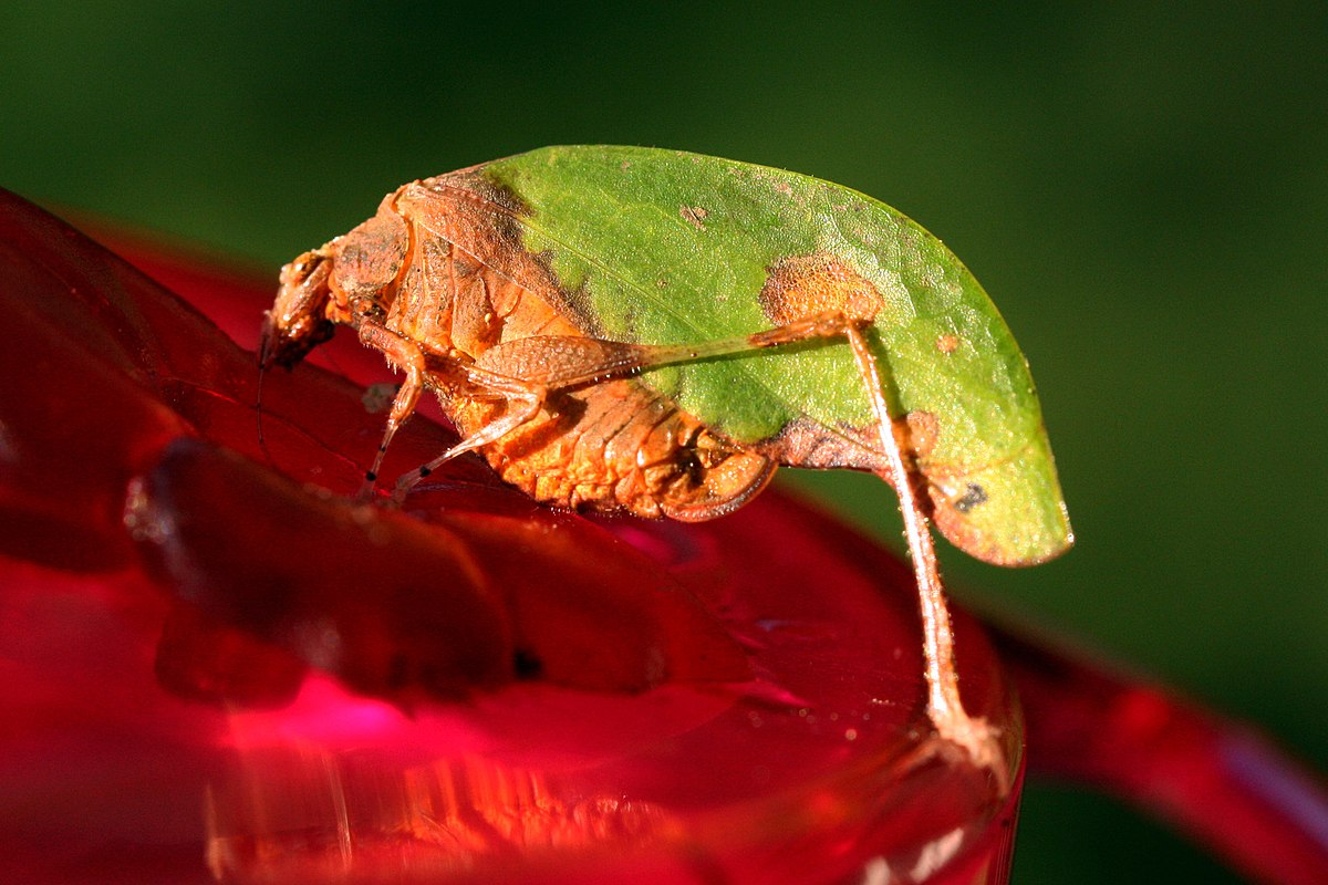 Leaf-mimic katydid - Wikipedia