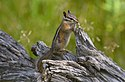 Least chipmunk (Tamias minimus), Coulter Bay, Grand Teton NP (19434750979).jpg
