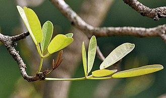Tabebuia - Young leaves of Tabebuia aurea