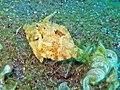 Lembeh63 6-12-11 - 54 a shy filefish (6569451429).jpg