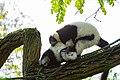 Lemur (24676920408).jpg