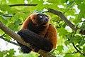 Lemur (35805682653).jpg