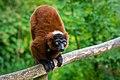 Lemur (36477016061).jpg