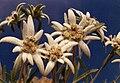 Leontopodium alpinum 6.jpg