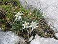 Leontopodium nivale subsp alpinum.jpg
