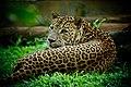 Leopard real look.jpg