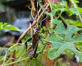 Leptoglossus gonagra - Philippines 3.jpg
