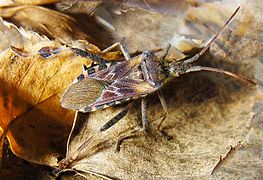 Leptoglossus occidentalis SD.jpg
