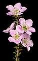 Leptospermum rotundifolium - Flickr - Kevin Thiele.jpg