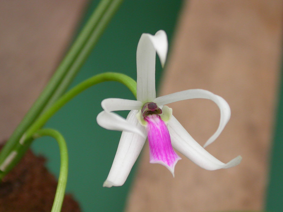 Leptotes orchideen wikipedia - Symbole de l orchidee ...