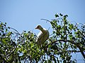 Les oiseaux d'Egypte - panoramio - youssef alam (13).jpg
