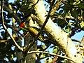 Lesser Yellownape - Mugilu Homestay 03.jpg