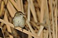 Lesser swamp warbler, Acrocephalus gracilirostris, at Marievale Nature Reserve, Gauteng, South Africa (40722475390).jpg