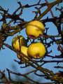 Letzte Äpfel November 2011.JPG