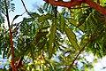 Leucaena leucocephala in Jardin des Plantes de Toulouse 05.jpg