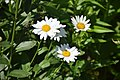 Leucanthemum × superbum Brightside in Jardin botanique de la Charme 03.jpg
