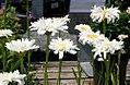 Leucanthemum x superbum Crazy Daisy 3zz.jpg