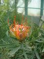 Leucospermum cordifolium01.jpg