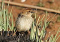 Levaillant's Cisticola, Cisticola tinniens at Suikerbosrand Nature Reserve, Gauteng, South Africa (15169280355).jpg
