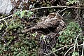 Liartail nightjar mother and chick (23648222702).jpg
