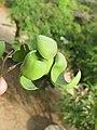 Libidibia coriaria - Divi-divi Tree - Caesalpinia coriaria - WikiSangamotsavam 2018, Kottappuram, Kodungalloor (24).jpg