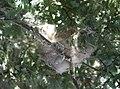 Lichenostomus penicillatus nest from side.JPG