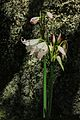 Lilies in the rocks at Penha, Guimarães (14662537411).jpg