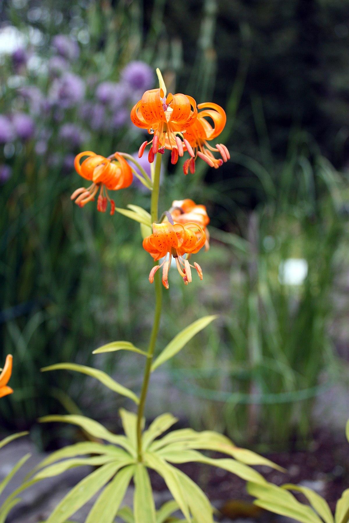 Lilium Medeoloides Wikipedia
