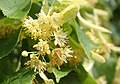 Lime tree flowers - geograph.org.uk - 1374981.jpg