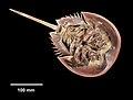 Limulus polyphemus (YPM IZ 070174) 001.jpeg