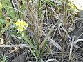 Linaria vulgaris - 04.jpg