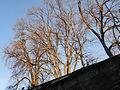 Lindenhof - Tilia cordata - Fortunagasse 2013-04-14 18-30-33 (P7700).JPG