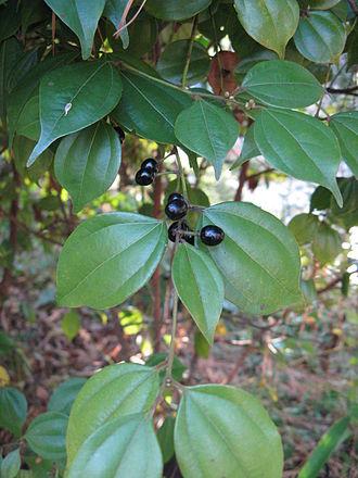 Lindera aggregata - Closeup view on fruits
