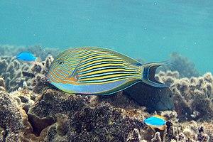 Acanthurus lineatus - Image: Lined surgeonfish Acanthurus lineatus (striped surgeonfish) (5849453394)