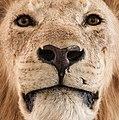 Lion Face.jpg