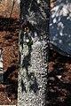 Liquidambar styraciflua Ward 1zz.jpg