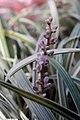 Liriope spicata Silver Dragon 1zz.jpg