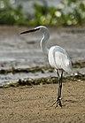 Little Egret (6996943893).jpg