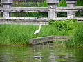Little Egret in Youth Park Lotus Pond.jpg