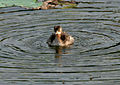Little Grebe (Tachybaptus ruficollis)- Non-breeding- bathing in an Indian Lotus (Nelumbo nucifera) Pond in Hyderabad, AP W IMG 7606.jpg